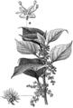 Beklädnadsväxter, Boehmeria nivea, Nordisk familjebok.png