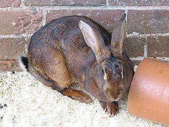 Belgian Hare - Red Belgian Hare