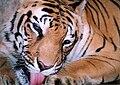 Bengal Tiger Kerala India.jpg