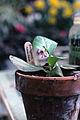 Bergenia crassifolia WPC.jpg