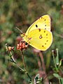 Berger's Clouded Yellow (28973652175).jpg