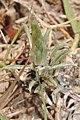 Berroa gnaphalioides- Canelones, Neptunia, Suelo pedregoso seco al margen de la Ruta Interbalnearia.JPG