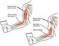Biceps Muscle CNX.jpg