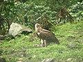 Bird Himalayan Griffon IMG 0438 03.jpg