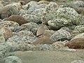 Bird Small Pratincole P1130671 02.jpg