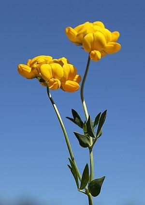 Lotus corniculatus - Lotus corniculatus flowerheads and 5-leaflet leaves