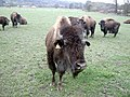 Bison on the Rhug estate - 4 - geograph.org.uk - 728963.jpg