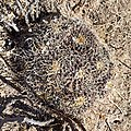 Biznaga de espina solitaria o biznaga de chilitos (Mammillaria magnimamma) en Guanajuato.jpg