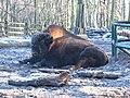 Bizon amerykański leśny w Poznań Nowym Zoo - grudzień 2020 - 3.jpg