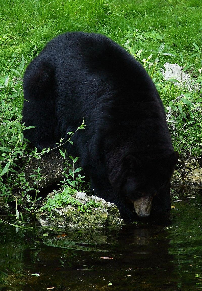 Black-bear-climbing-water - West Virginia - ForestWander.jpg