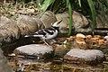 Black-collared Starling (Gracupica nigricollis), Hong Kong Botanical Gardens (5780233279).jpg