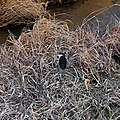 Black-crowned night heron on the grass beside the river - 2.jpg