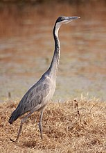 Black-headed Heron, Ardea melanocephala at Marievale Nature Reserve, Gauteng, South Africa (21248179086).jpg