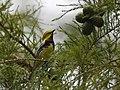 Black-throated Green Warbler (23765753748).jpg