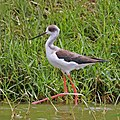Black-winged stilt (Himantopus himantopus) immature.jpg