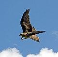 Black Kite 12a (6022967048).jpg