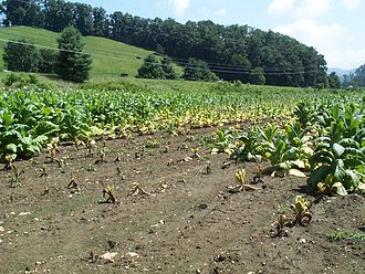 Phytophthora nicotianae - Black Shank affecting a field of tobacco. Photo Credit Kelly Ivors, Cal Poly