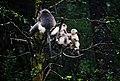 Black Snub-nosed Monkeys.jpg