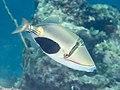 Blackpatch triggerfish (Rhinecanthus verrucosus) (42586038625).jpg