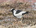 Blacksmith Lapwing (Vanellus armatus) - Flickr - Lip Kee (2).jpg