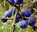 Blackthorn - Flickr - Stiller Beobachter (1).jpg
