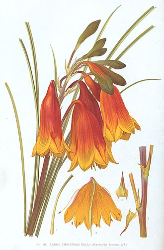 Blandfordia - Illustration of Blandfordia grandiflora by Edward Minchen