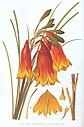 Blandfordia grandiflora-Minchen.jpg