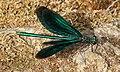 Blauflügel-Prachtlibelle Calopteryx virgo 8244.jpg