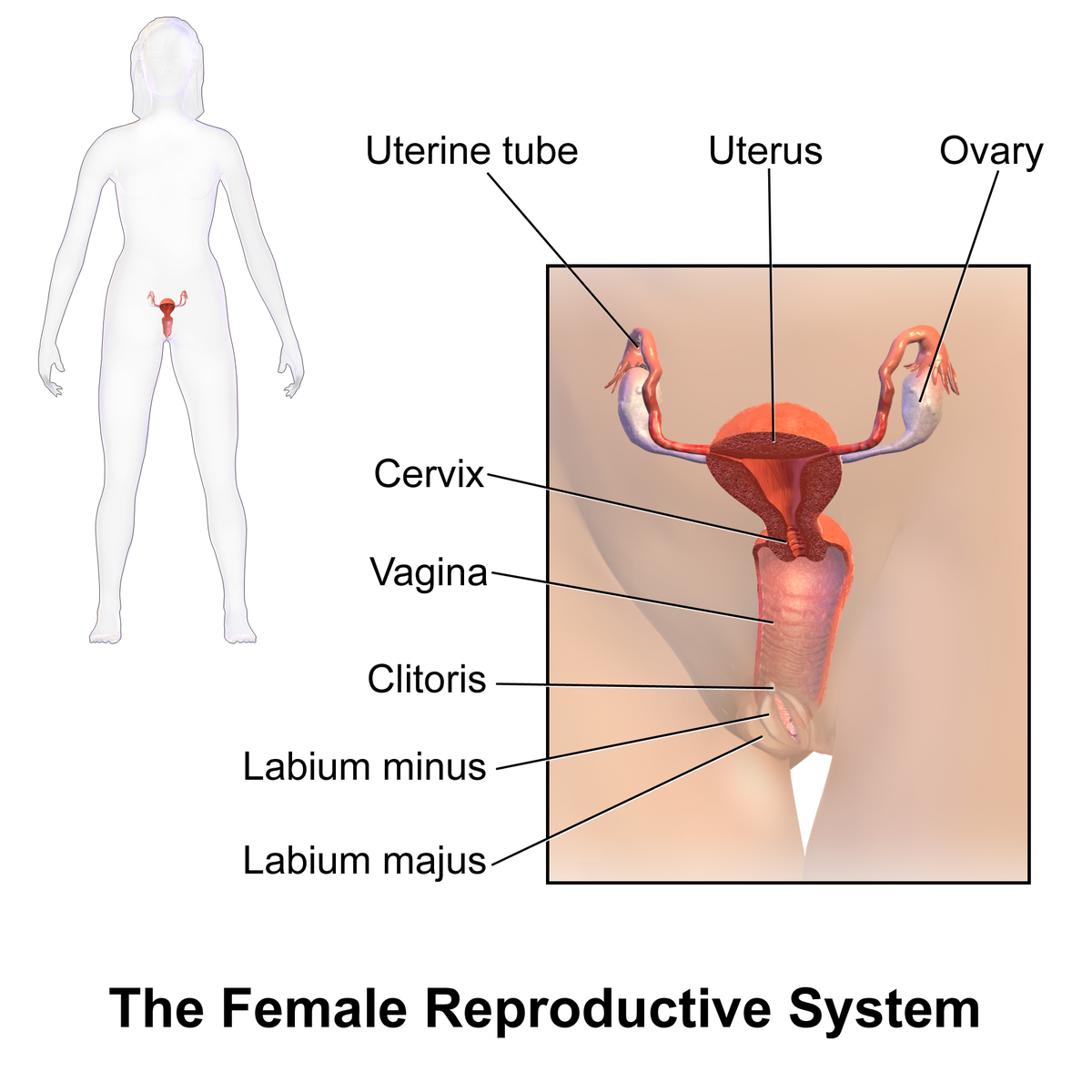 Images of the female sex organ