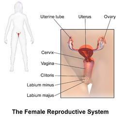 Female reproductive system wikipedia female reproductive system ccuart Image collections