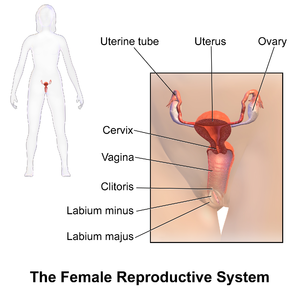 Female reproductive system - A pictorial illustration of the female reproductive system.