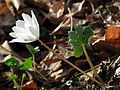 Bloodroot - Flickr - treegrow (3).jpg