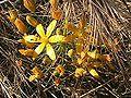 Bloomeria crocea voorhis.jpg