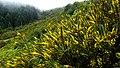 Bloomin broom (Feiteiras de Baixo) 2 (38096862801).jpg