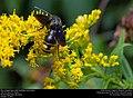 Blue-winged wasp (Scoliidae, Scolia dubia) (30901482092).jpg