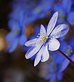 Blue (2427815966).jpg