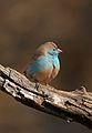 Blue Waxbill, Uraeginthus angolensis, at Pilanesberg National Park, Limpopo Province, South Africa (29653173632).jpg