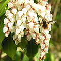 Bombylus major DSCN2854.t.jpg