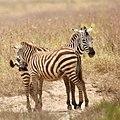 Bonding zebras (42767994340).jpg
