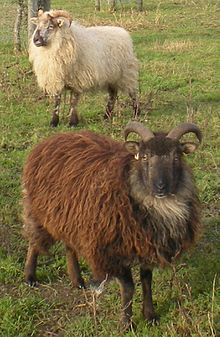 Boreray sheep - Wikipedia