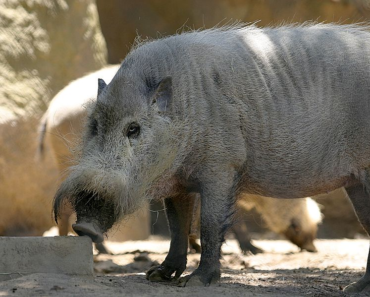 http://upload.wikimedia.org/wikipedia/commons/thumb/9/96/Bornean_Bearded_Pig.jpg/747px-Bornean_Bearded_Pig.jpg