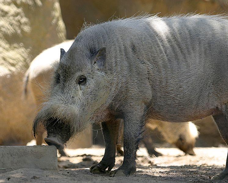 http://upload.wikimedia.org/wikipedia/commons/thumb/9/96/Bornean_Bearded_Pig.jpg/747px-Bornean_Bearded_Pig.jpg