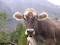 Bos taurus-Switzerland-Bovine beauty.jpg