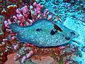 Bothidae - Bothus mancus.jpg