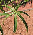 Brachychiton rupestris juvenile leaf 4167.jpg