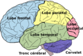 Brain diagram fr.png