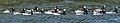 Branta leucopsis EM1B6015 (36071283456).jpg