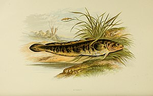 Burbot - An 1879 illustration by Alexander Francis Lydon