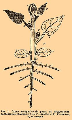 """1. Схема распределения роста в двудольном растении: cc - семядоли; b, b', b """" - листья; k, k', k """" - почки; w, w'..."""