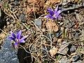 Brodiaea elegans harvest Brodiaea lily.jpg
